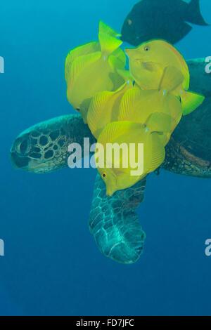 Tortugas marinas verdes, Chelonia mydas, se limpia de algas por lengüetas de amarillo, Zebrasoma flavescens, Puako, la isla de Hawaii, EE.UU.