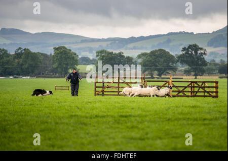 Un pastor y Border Collie pastoreando ovejas en el Perro Pastor Internacional juicios en Moffat, Escocia, Reino Unido.