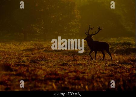 Ciervo rojo (Cervus elaphus) ciervo en la luz de la mañana Foto de stock