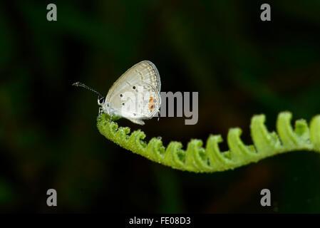 Largo de Sri Lanka-tailed Mariposa Azul (Lampides boeticus) adulto cubierto de rocío, reposando sobre hojas de helecho, La Reserva Forestal de Sinharaja,