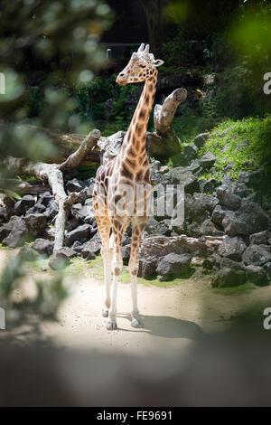 Giraffe vistos a través del orificio en las ramas de los árboles