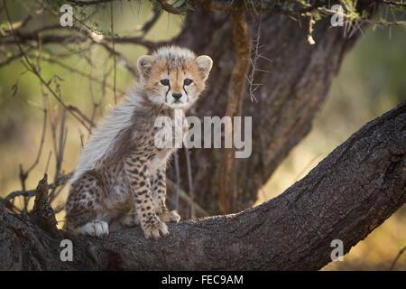 Guepardo africano bebé sentado en el árbol en el Parque Nacional de Serengeti, Tanzania Foto de stock