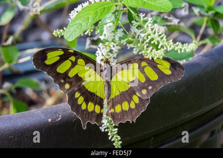 Primer plano de Malaquita Siproeta stelenes Mariposa en una flor en las fincas de mariposas en Fort Myers Florida