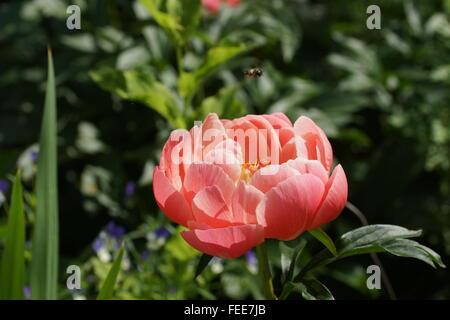 Paeonia lactiflora encanto Coral Foto de stock