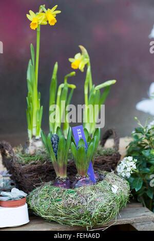Narcissus assoanus. Narcisos Miniatura flores