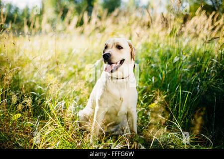 Perro Labrador Retriever blancos sentados en el césped, el Parque Forestal de fondo.