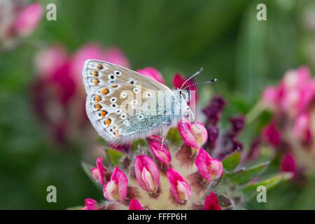 Mariposa Azul común; Polyommatus icarus sola hembra en Flor Anglesey; UK