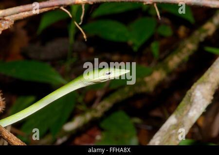 Árbol de hocico largo, Serpiente verde serpiente de vid, de hocico largo látigo asiático o SERPIENTE SERPIENTE (vid Ahaetulla nasuta) de la Reserva Forestal de Sinharaja,