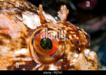 Primer plano del ojo de un curioso cabezon pescado fresco en agua de California