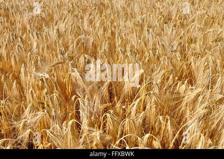 Campo de cebada madura formando un fondo