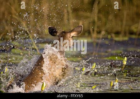 Sambar deer ciervo Cervus unicolor girando en el agua , la reserva de tigres de Ranthambore , Rajasthan, India