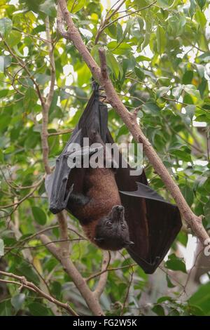 Bat (Pteropus vampyrus malaya) colgando de su cabeza hacia abajo