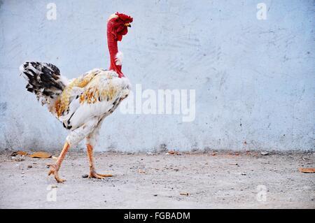 Pollo Contra la pared