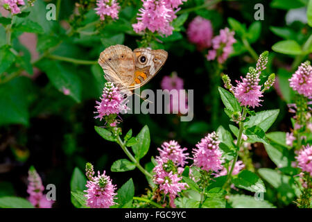 Buckeye común mariposa sobre hisopado Agatache flores. Oklahoma, EE.UU.