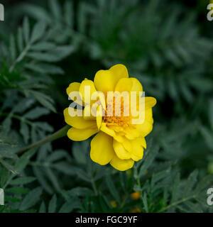 Un amarillo Marigold, Tagetes patula, en una cama de flor en Oklahoma, EE.UU. Flores se utiliza a menudo como una especia en la cocina.