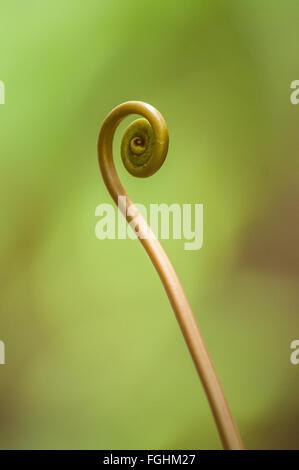 La espiral fronda rizada de un nuevo helecho, Kauai, Hawai.