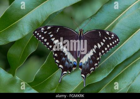 Este Especie Papilio polyxenes mariposas en el Mariposario Estates en Fort Myers Florida