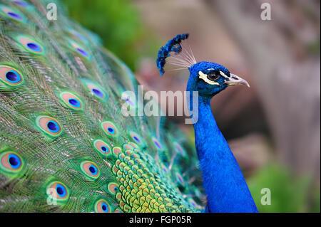 Retrato de hermosa con plumas de pavo real fuera