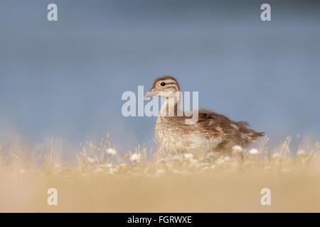 Patito el ánade real (Anas platyrhynchos) caminando delante de un lago en el césped seco.