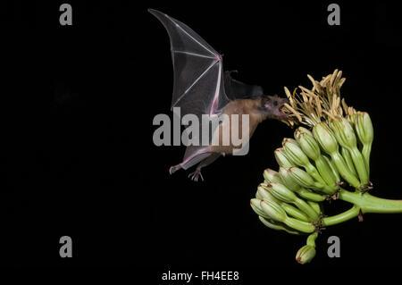 Menor de larga nariz, murciélago Leptonycteris yerbabuenae (curasoae), alimentándose de agave florece, Green Valley, Arizona, EE.UU.