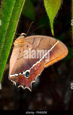Mariposa, Antirrhea sp., familia Nymphalidae en la selva, provincia de Pastaza Ecuador