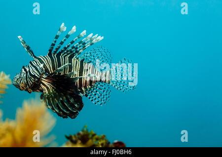 Especies venenosas invasoras pez león, Pterois volitans, nadar en el arrecife de Belice
