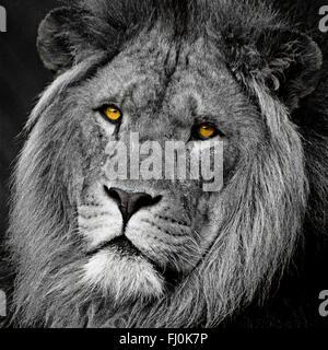 Lion big cat head retrato en blanco y negro de conversión mono con color (color) pop ojos alto detalle de contraste. Cierre de formato cuadrado recortado con impacto