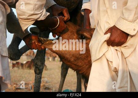 Los camellos y sus propietarios durante Pushkar mela feria de camellos en Rajasthan