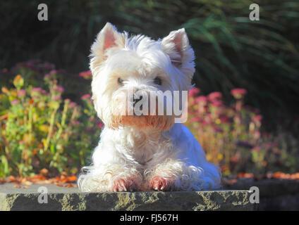 West Highland White Terrier, Westie (Canis lupus familiaris) f., nueve años de edad, perro en un parque en una pared, Foto de stock
