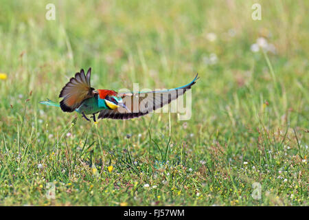 Abeja europea eater (Merops apiaster), volando, aterrizando en el pasto, Grecia, Evrosdelta