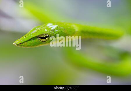 Longnose whipsnake, Verde serpiente (vid Ahaetulla nasuta), retrato, Malasia, Borneo, Sabah
