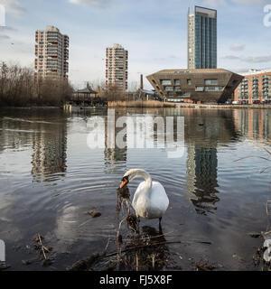 Londres, Reino Unido. 29 de febrero, 2016. Comienza la construcción del nido de cisne en el estanque de Canada Water Crédito: Guy Corbishley/Alamy Live News