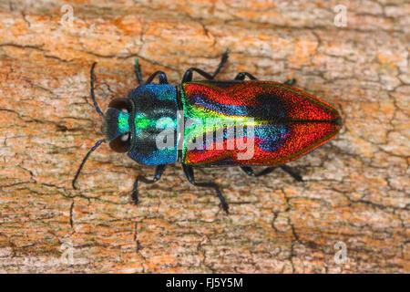 Joya escarabajo, madera-aburrido escarabajo (Anthaxia candens), sobre madera, Alemania