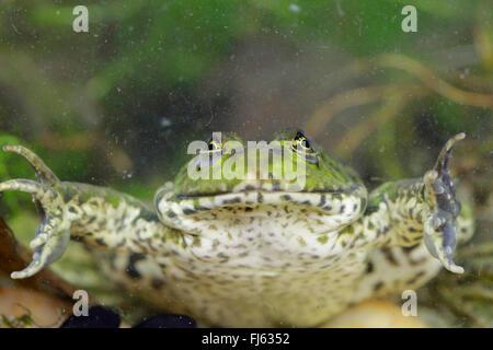 Unión comestibles, la rana común (RANA rana comestible kl. esculenta, Rana esculenta, Pelophylax esculentus), apoyada en el suelo de un estanque, Alemania, Baviera