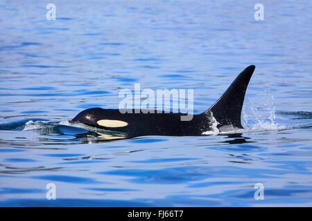 Orca, gran, grampus orca (Orcinus orca), natación masculina, Canadá, Victoria, Estrecho de Haro