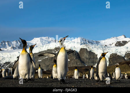 Pingüino Rey (Aptenodytes patagonicus) adulto en la playa Gold Harbor South Georgia