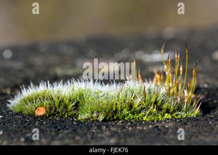 Tornillo de pared-MOSS (Tortula muralis) de ancho. Un cojín de un musgo sporophytes comunes con color plata y de proyectar los nervios Foto de stock