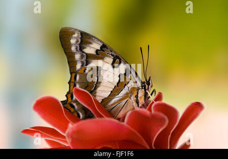 Colas de mariposa emperador, Polyura sempronius, sobre rojo torch ginger Etlingera elatior