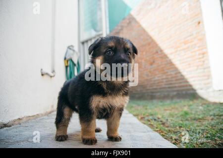 Primer plano del cachorro Pastor Alemán en césped