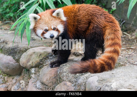 Panda rojo (Ailurus fulgens), en la provincia de Sichuan, China, Asia