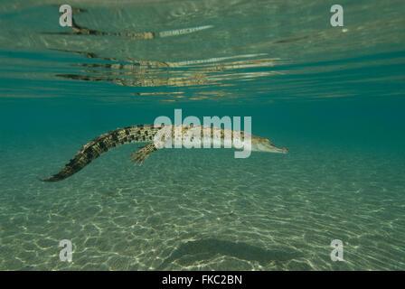 El cocodrilo de agua salada, Crocodylus porosus es el más grande de todos los que viven cocodrilos y reptiles. Se encuentra en hábitat adecuado