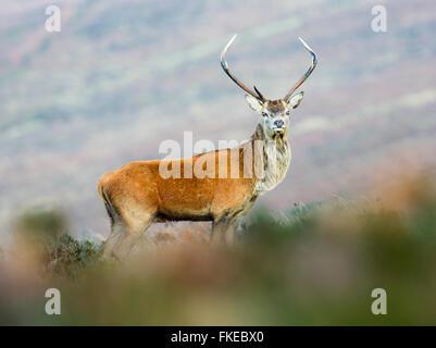 Joven ciervo ciervo Foto de stock