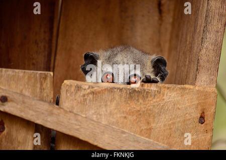 Sportive lemur reventar la cabeza de su caja nido