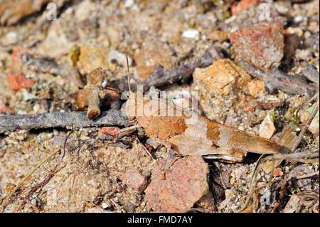 Saltamontes de Alas azules (Oedipoda caerulescens) fusionar en ambiente árido