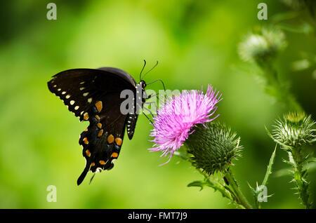 Mariposa Spicebush alimentándose de cardo de púrpura en campo de verano. Foto de stock