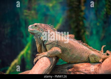 Iguana lagarto exótico en una sucursal de cerca