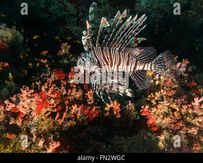 Un pez león flota sobre un arco de corales duros y blandos en un arrecife en las Maldivas, pequeños peces naranja se mueven a través del coral de abajo