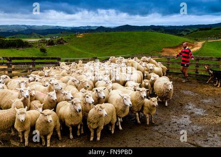 Ovejas en un corral de ovejas esperando a ser cortado, granja ovejera, pukekohe, Nueva Zelanda