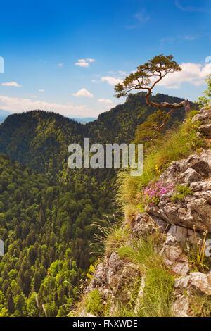 Un solitario pino en el borde del Cañón Dunajec Avance en la frontera polaco y eslovaco. Fotografiado en un día soleado y luminoso.