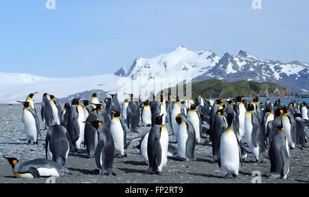Pingüinos rey (Aptenodytes patagonicus) en la playa cerca de su colonia de anidación. La llanura de Salisbury, Bahía de Islas Georgia del Sur.